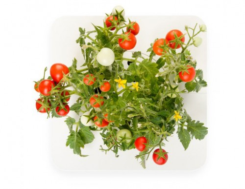 ClickandGrow-Tomato