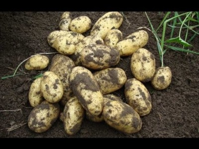 How to grow potatoes in containers for an early crop step by step DIY tutorial instructions
