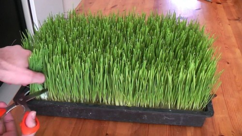 How to grow your own wheatgrass at home step by step DIY tutorial instructions