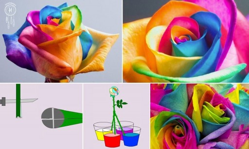 How to grow colorful roses step by step DIY tutorial instructions