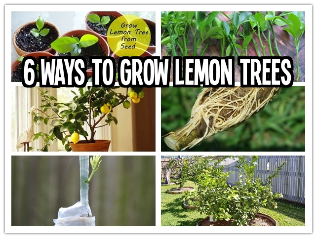 6 ways to grow lemon trees at home step by step DIY tutorial instructions
