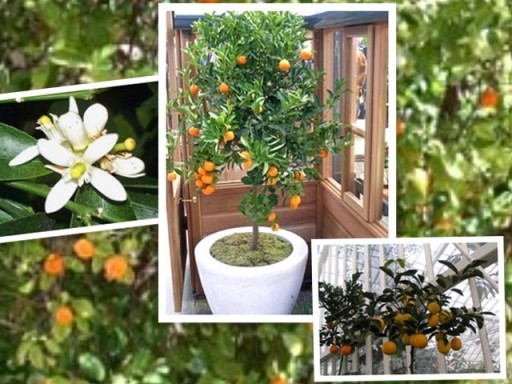 How to grow citrus fruits at home step by step DIY tutorial instructions