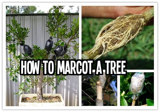 How to marcot a tree step by step DIY tutorial instructions