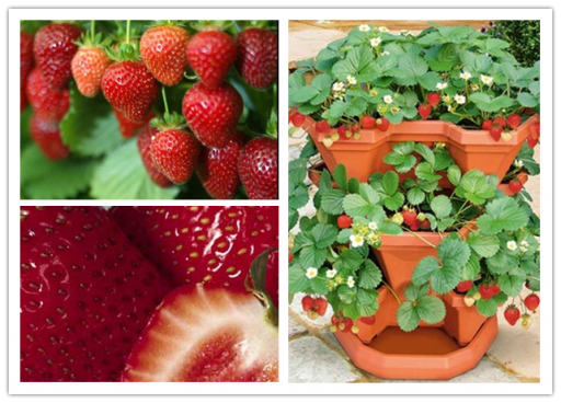 How to grow strawberries in pots step by step DIY tutorial instructions