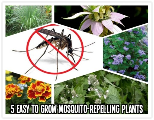 Five Easy to Grow Mosquito-Repelling Plants
