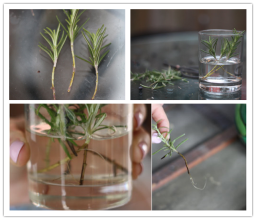 How to grow rosemary and cook rosemary dishes step by step DIY tutorial instructions 3