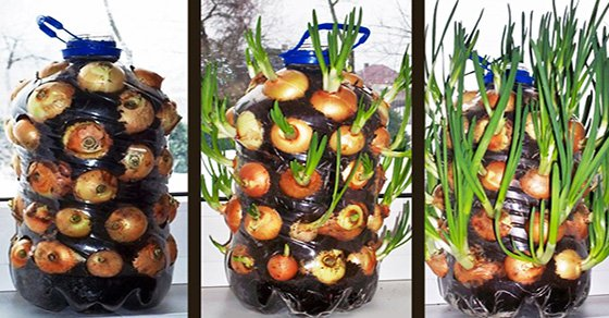 How To Grow Onions Indoors