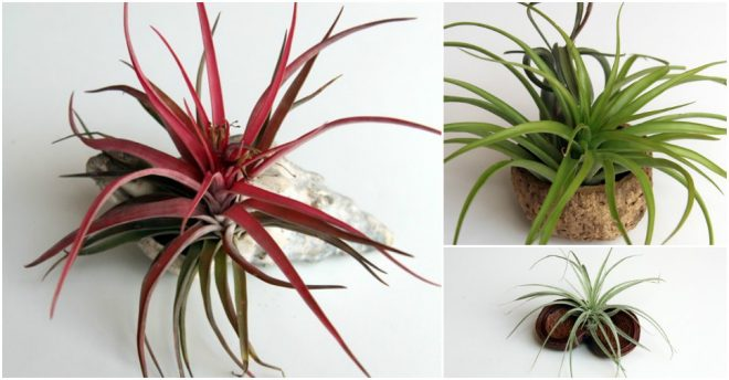 Make DIY air plant adornments