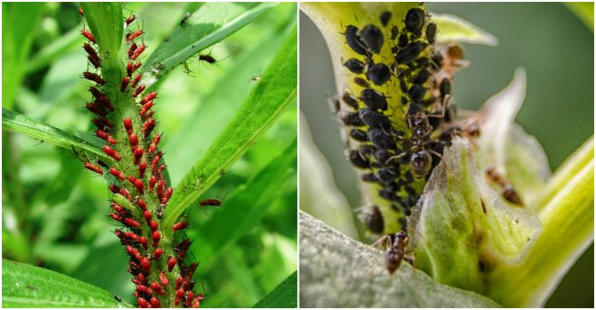Organic Ways To Get Rid Of Aphids
