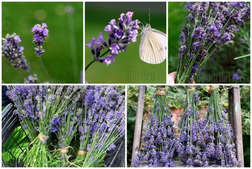 How To Harvest Lavender