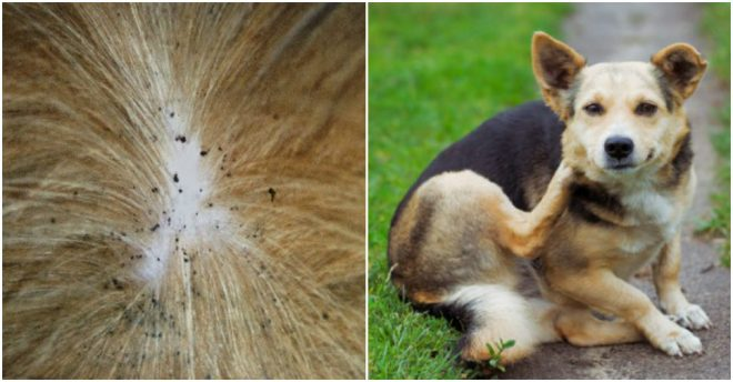 how-to-get-rid-of-fleas-3