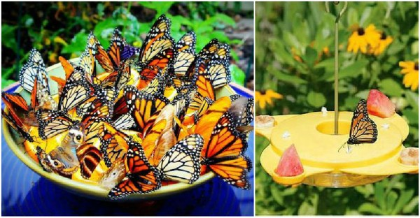 How To Attract Butterflies 1