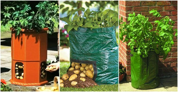 How To Grow 100 Pounds Of Potatoes In A Barrel 2