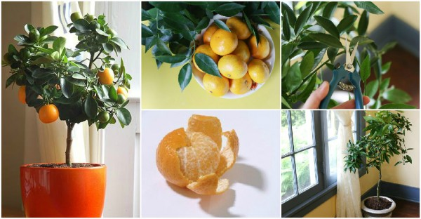 How To Grow Clementine Indoor