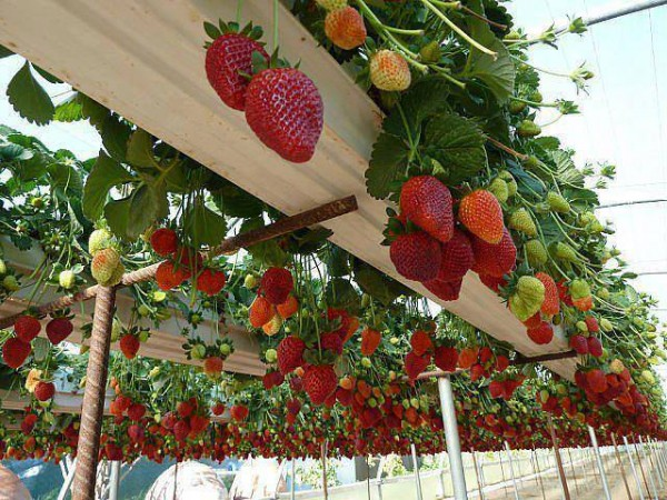 How To Grow Strawberries In Rain Gutters 1
