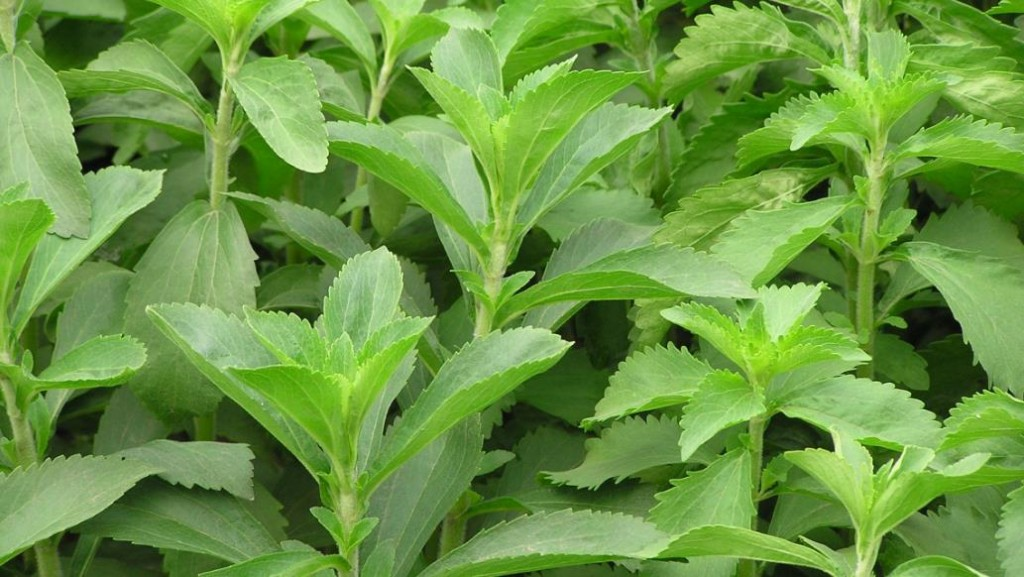 Stevia Helps Quit Smoking And Lose Weight