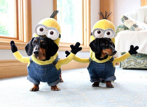 Wiener Dog Minions Look Awesome In Their DIY Costumes