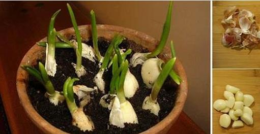 How To Grow Garlic Indoor