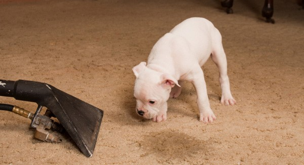 How to Remove Pet Stains From Carpet 3