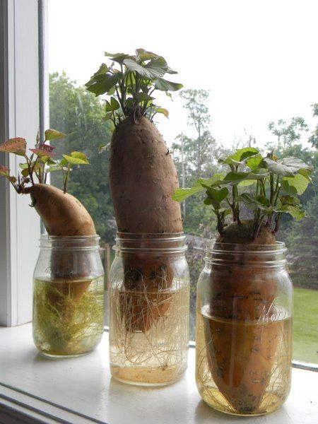 Vegetables That Can Regrow Magically 11