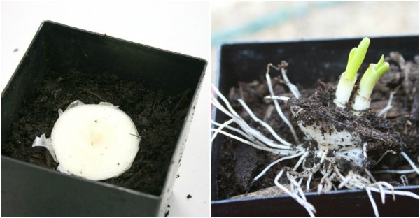 Vegetables That Can Regrow Magically 12