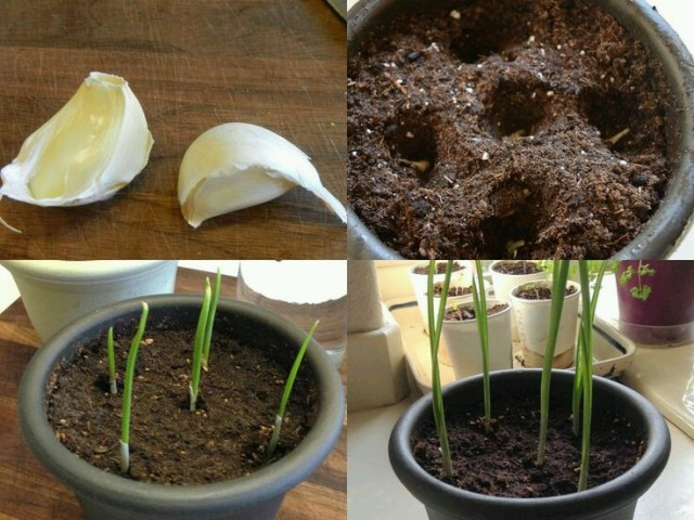 How To Plan Garlic