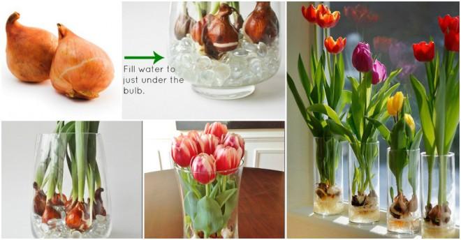 Grow Tulip