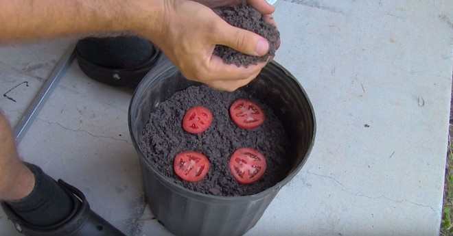 Tomato Seedings