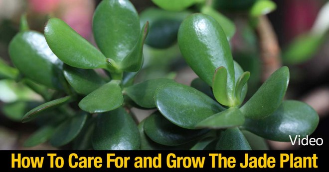How To Grow And Care For The Jade Plant How To Instructions