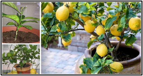 How-To-Grow-A-Lemon-Tree-From-Seed