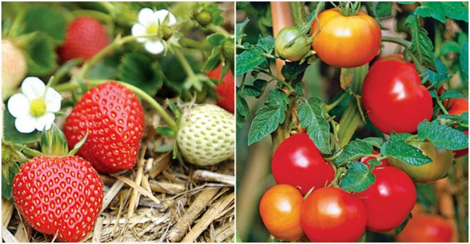 Best Fruits & Vegetables To Grow At Home 2