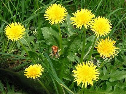 Heath Benefits Of Dandelion Leaf And Root