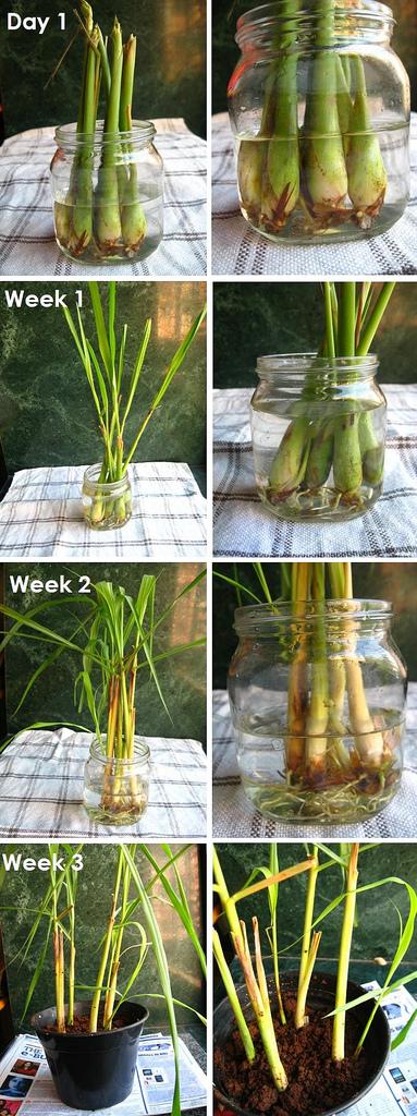 How To Regrow Lemongrass 2