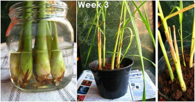 How To Regrow Lemongrass