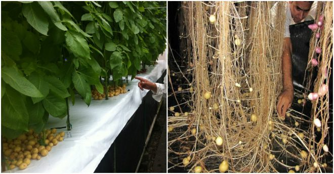 aeroponics-grow-potatoes-in-air-1