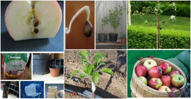 How To Grow Apple Trees From Seeds