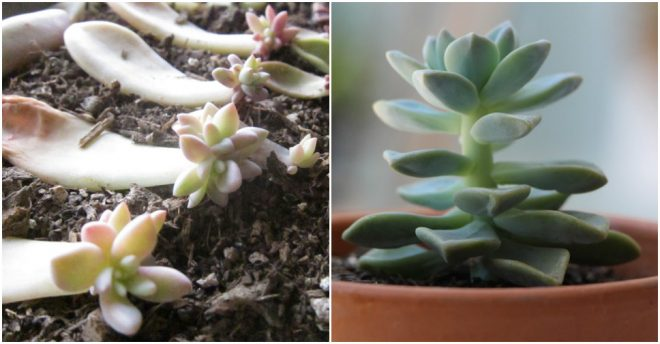 How To Propagate Succulents From Cuttings And Leaves