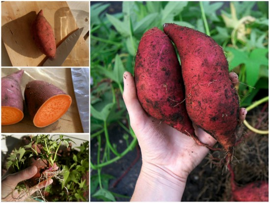 how-to-grow-your-own-sweet-potatoes-1