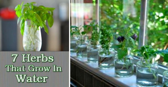 herbs-that-grow-in-water