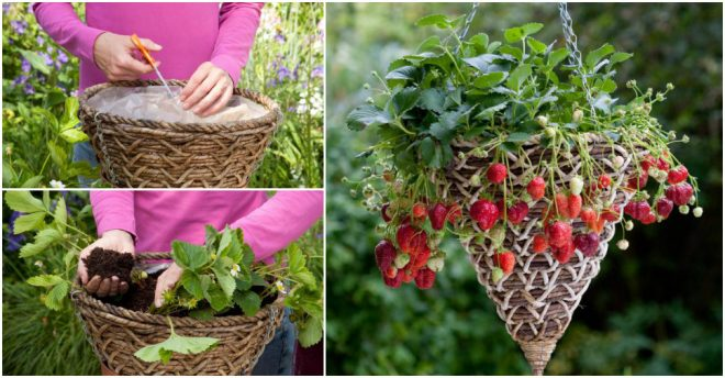 how-to-grow-strawberries-in-baskets