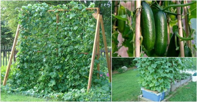 how to grow cucumbers vertically how to instructions